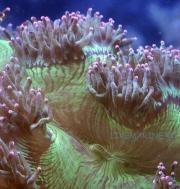 Жесткие крупнополипные кораллы (ЛПС)