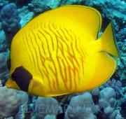 Морская декоративная рыба