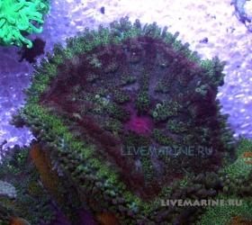 Мини-ковровая актиния (тапетум) Mini carpet anemone (tapetum)