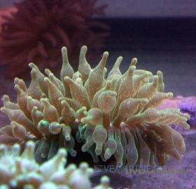 Пузырчатая актиния Entacmaea quadricolor