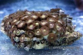 Зоантусы коричневые Zoanthus spp.