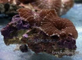 Родактис коричневый Rhodactis sp.
