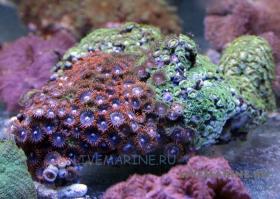 Зоантусы разноцветные ЛЮКС Zoanthus spp.