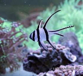 Pterapogon kauderni, тюлевый апогон