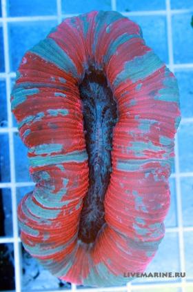 Трахифилия красная Trachyphyllia