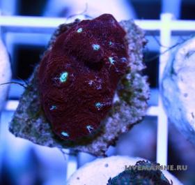 ехинофилия чалис echinophyllia