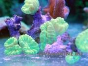Кауластрея зеленая Caulastrea sp.