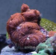 Родактис инкоата Rhodactis inchoata
