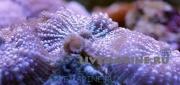 Родактис цветной Rhodactis sp.