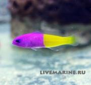 Pseudochromis paccagnelae, ложнохромис королевский