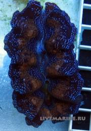 Тридакна кроцея двухцветная Tridacna crocea