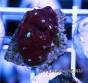 Ехинофиллия , Echinophyllia