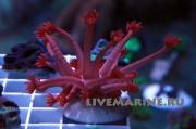 Goniopora red, Гониопора красная