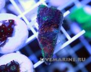 Acanthastrea echinata Акантастрея Ихината