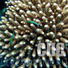 Жесткие мелкополипные кораллы (СПС)